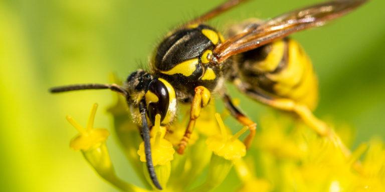 Wespen vertreiben: 7 Tipps zur Abwehr der Plagegeister